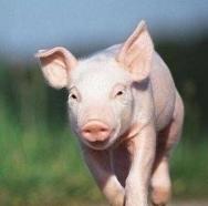 猪肉教教主