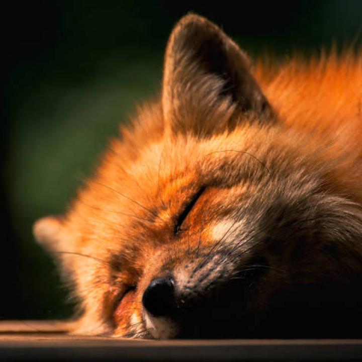 小狐狸药丸