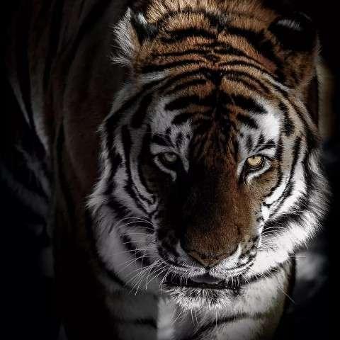 会拔牙的老虎