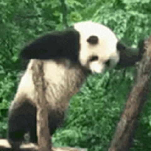 rap的熊猫