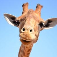 非要上天的长颈鹿