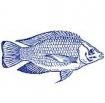 罗非鱼安知鱼之乐