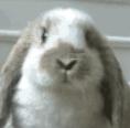 神风流熊兔